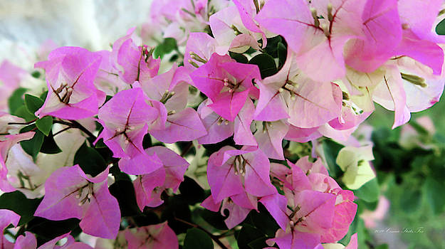 Connie Fox - Pink Bougainvillea