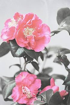 Jenny Rainbow - Pink Camellia. Shabby Chic Collection