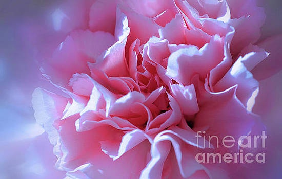 Pink Carnation by Elaine Manley