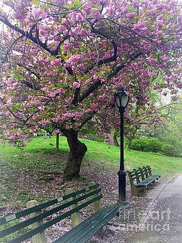 Pink Cherry Blossom Tree - Central Park in Spring by Miriam Danar