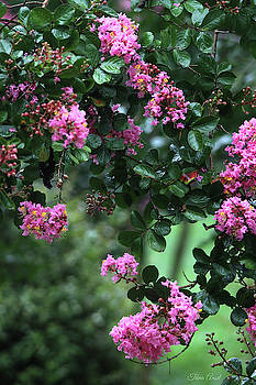 Pink Crape Myrtle Tree by Trina Ansel