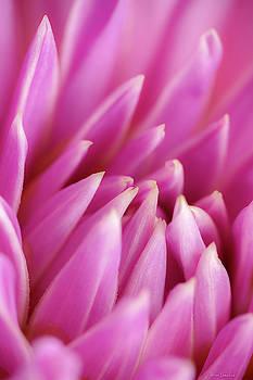 Pink Dahlia Macro by Wim Lanclus