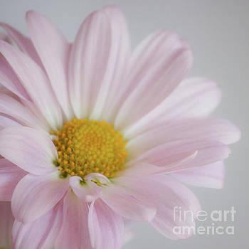 Pink Daisy by Kristi Cromwell