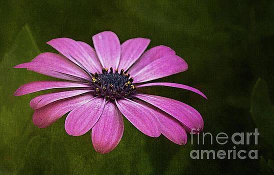 Pink Daisy by Warrena J Barnerd