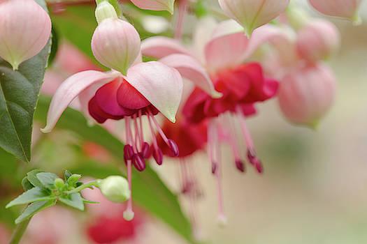 Pink Fuchsia  by Iris Richardson