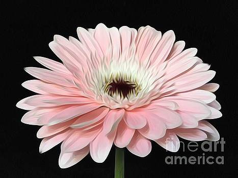 Pink Gerbera Daisy In Bloom by Jeannie Rhode