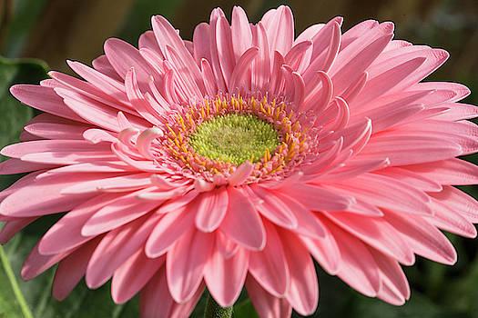 Pink Gerbera Daisy by Iris Richardson