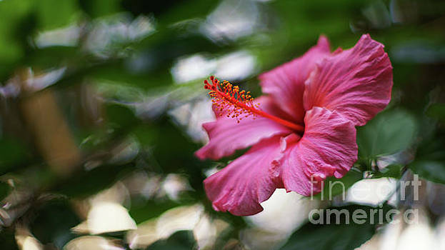Pink Hibiscus Flower by Pablo Avanzini