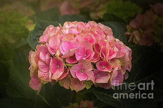 Pink Hydrangea by Warrena J Barnerd