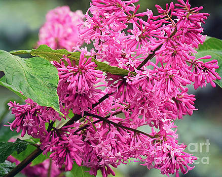 Pink Lilacs by Kathy M Krause