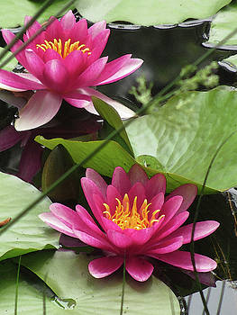 Kathy Clark - Pink Loveliness in a Waterlily