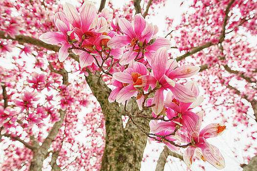 Pink Magnolia Tree Bloom by George Oze