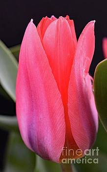 Cindy Treger - Pink Or Red Tulip Macro