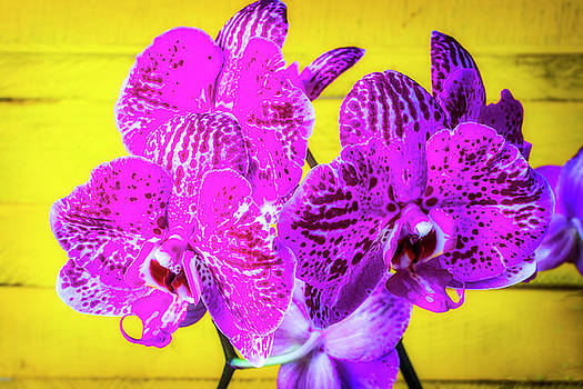 Pink Orchids Against Yellow Wall by Garry Gay