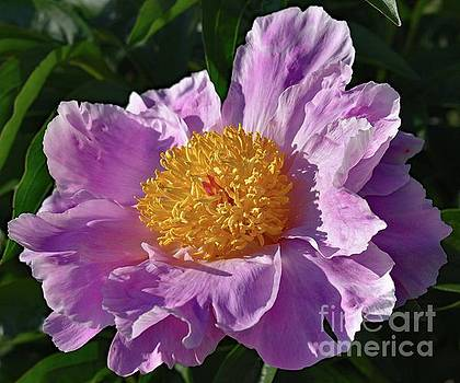 Cindy Treger - Pink Perfection - Bowl of Beauty Peony