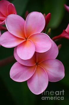 Pink Plumerias  by Deb Cawley