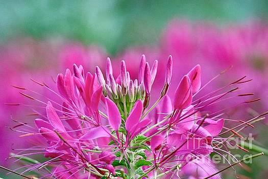 Pink Queen by Susan Rydberg