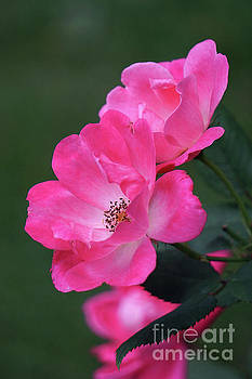 Pink Roses by HD Connelly