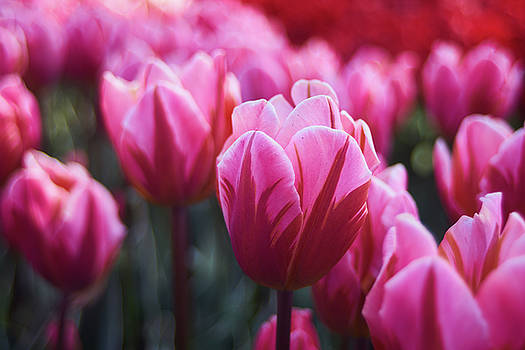 Pink Tulip by Lukas Kerbs