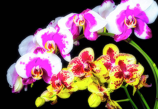 Pink White And Yellow Orchids by Garry Gay