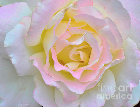 Pink White Yellow Delight by Debby Pueschel