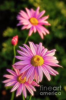 Pinks Daisies by Veikko Suikkanen