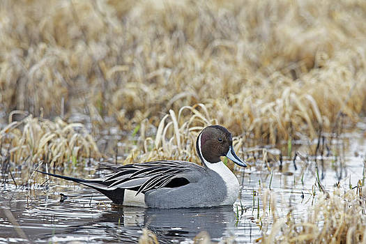 Pintail Duck by Natural Focal Point Photography