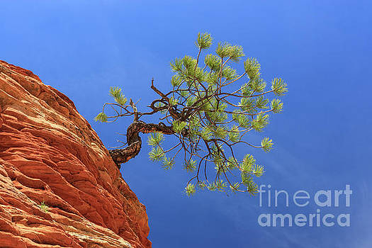Pinyon pine tree on sandstone at Zion National Park by Henk Meijer Photography