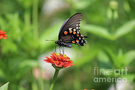 Pipevine Swallowtail Butterfly on Orange Zinnia by Karen Adams