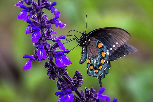 Pipevine Swallowtail by Debra Martz