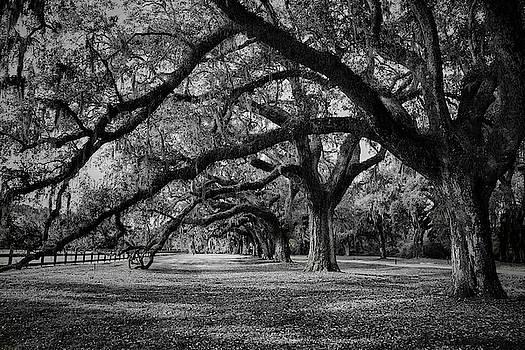 Plantation Tree Tunnel by Jon Glaser