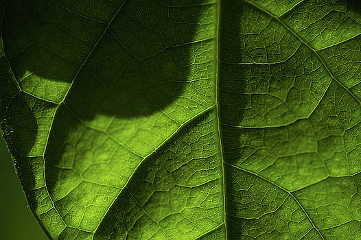 Jenny Rainbow - Play of Light and Shadow. Green Leaf Macro 3 5