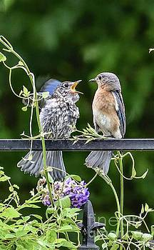 Please Mama Feed Me One More Time - Eastern Bluebirds by Cindy Treger