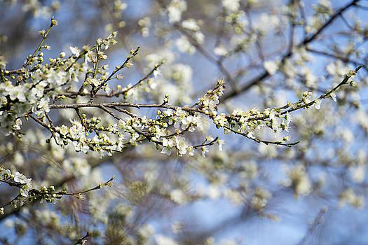 Plum Blossoms - 19 4907 by Tari Kerss