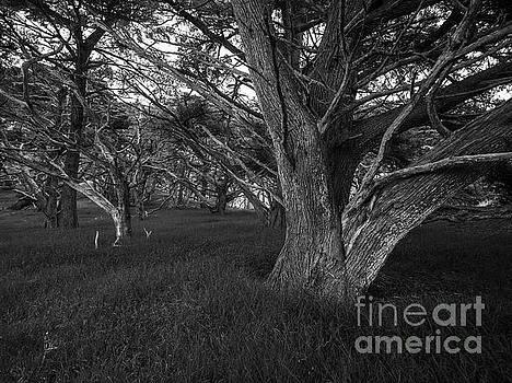 Point Lobos Cyprus Trees Grove by Mike Reid