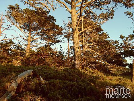 Point Lobos Pine Trees by Marte Thompson