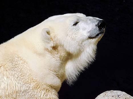 Polar Bear by Dan Miller