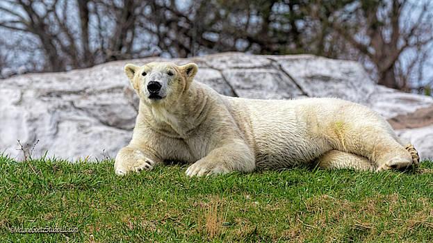 Polar Bear Lounge by LeeAnn McLaneGoetz McLaneGoetzStudioLLCcom