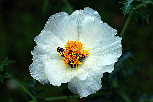 Pollen Dancers by Bill Morgenstern