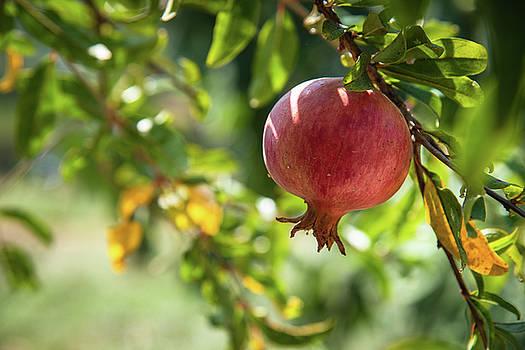 Pomegranate  growing on a tree branch on day light  by Zina Zinchik