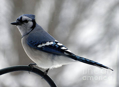 Cindy Treger - Popinjay or Blue Jay