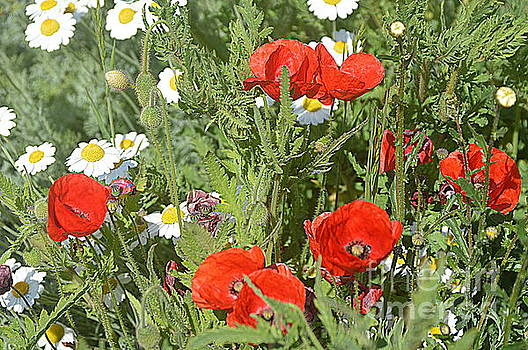 Poppies by Andy Thompson