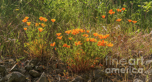 Poppies by Trail to Beach by Marv Vandehey