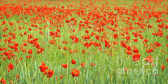 Poppies field panorama by Delphimages Photo Creations