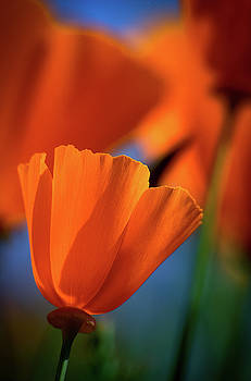 Poppy by Cyndi Hardy