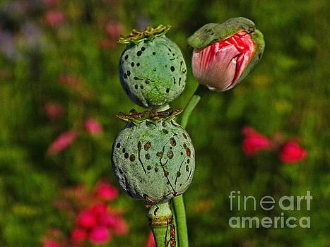 Poppy by Ella Kaye Dickey