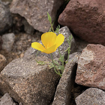 Poppy on the Rocks by Laurel Powell