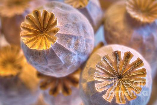 Poppy seed pods 2 by Veikko Suikkanen