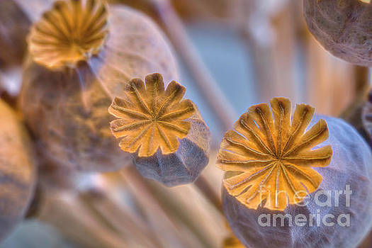Poppy seed pods by Veikko Suikkanen