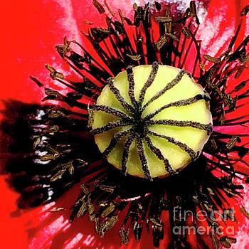 Red Poppy_7822_15 by Tari Kerss